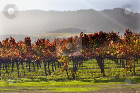 Red Vines Leave Under Sun Beams Vineyards Green Grass Napa Calif stock photo, Red Yellow Leaves Fall Under the Sun Beams Napa Vineyards California by William Perry