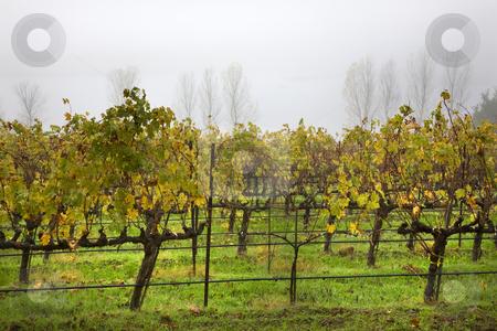 Vineyards Fog Tree Napa California stock photo, Napa Vineyards in the Morning Fog California by William Perry