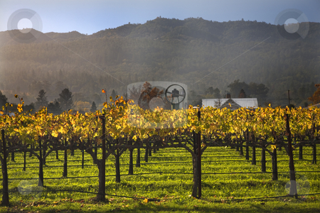 Fall Wine Vines Yellow Leaves Vineyards Fog Tree Napa California stock photo, Wine Vines Yellow Leaves Fall Vineyards Napa California by William Perry