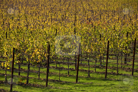 Yellow Vine Rows Fall Vineyards Napa California stock photo, Yellow Vine Rows Leaves Vineyards Napa California by William Perry
