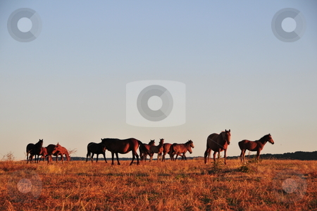 Horses in field  stock photo, Grazing horses in field, Bulgaria, Europe by Zheko Zhekov