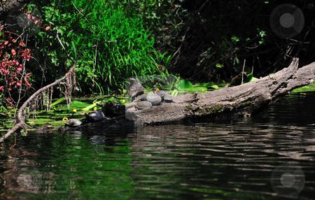 River turtles  stock photo, River turtles on the sun, river Veleka, Bulgaria by Zheko Zhekov