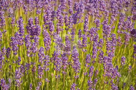 Closeup of Lavender Plants stock photo, Photo close up of many purple lavender plants in full bloom. by Valerie Garner