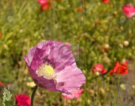 Purple Colored Poppy stock photo, This photo features a purple colored poppy with it's paper like textured petals in a field of poppies. by Valerie Garner