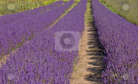 Rows of Lavender on Farm stock photo, This shot is rows of purple lavender plants on a rural farm. by Valerie Garner