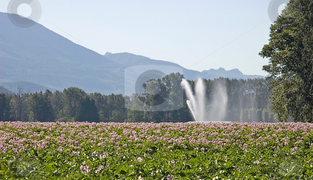 Rural Field Landscape stock photo, This rural field of potatoes is set against beautiful mountains in the background and is being irrigated by a large sprinkler with cool patterns of the water falling. by Valerie Garner