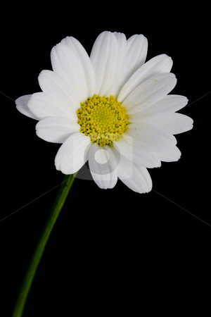 Isolated Daisy stock photo, Closeup photo of a daisy isolated against a black background by Inge Schepers