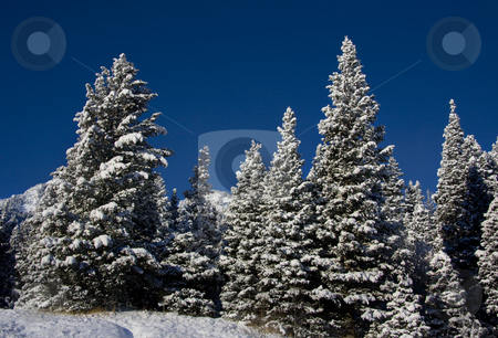 Winter stock photo, View of pine trees right after a snow storm With a wood fence in the foreground with deep blue sky's by Mark Smith