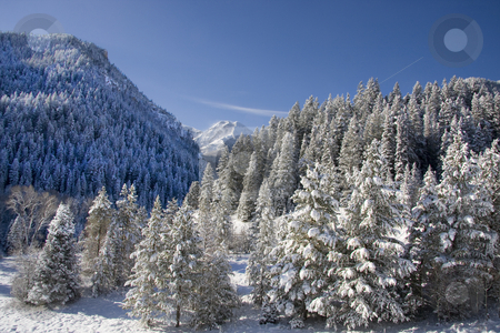 Winter stock photo, View of pine trees right after a snow storm by Mark Smith