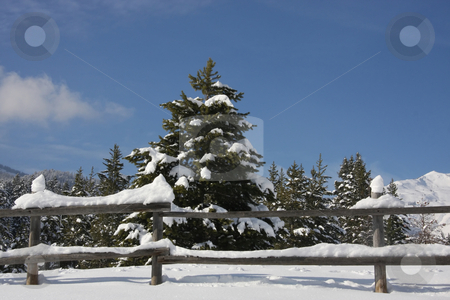 Snow and Sky 3 stock photo, View of pine trees right after a snow storm With a wood fence in the foreground with deep blue sky's by Mark Smith