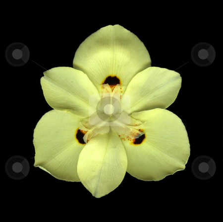 Mellow Yellow stock photo, Bird's eye view of yellow desert lily isolated on black background by Christian Slanec