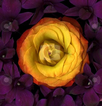 Cradled stock photo, Single orange rose close-up with vibrant purple lilies by Christian Slanec