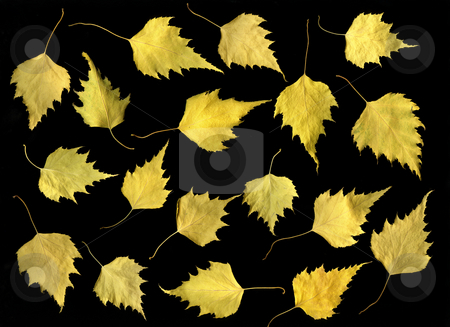 Fall Leaves stock photo, Arrangement of fall leaves isolated on black background by Christian Slanec