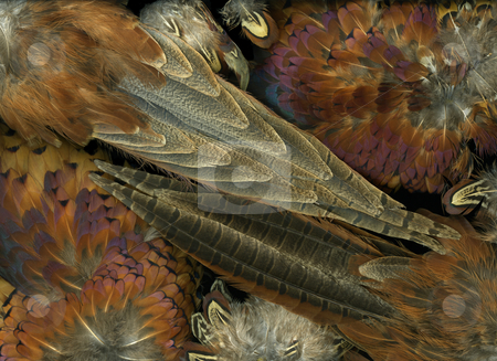 Featherdance stock photo, Arrangement of colorful pheasant bird feathers by Christian Slanec