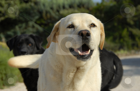 Labrador retriever stock photo, Portrait of a beautiful purebred labrador retriever in a garden by Bonzami Emmanuelle