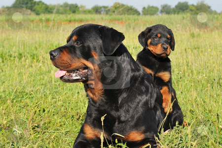 Rottweiler and puppy stock photo, Portrait of an adult rottweiler and his puppy in a field by Bonzami Emmanuelle