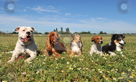Five dogs stock photo, Five purebred dogs laid down in a field by Bonzami Emmanuelle