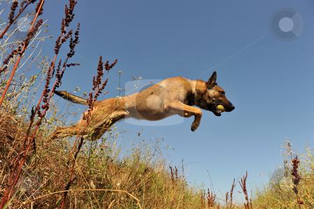 Jumping malinois stock photo, Portrait of a jumping purebred belgian shepherd malinois by Bonzami Emmanuelle