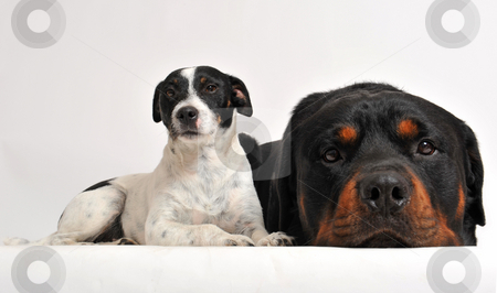 Rottweiler and jack russel terrier stock photo, Two friends dogs: rottweiler and jack russel terrier by Bonzami Emmanuelle