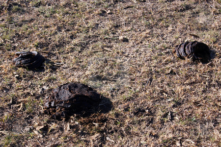 Cow Droppings stock photo, Some cow droppings in an open field. by Brandon Seidel