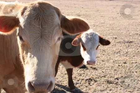 Cow and Calf stock photo, A cow and a calf grazing on a farm. by Brandon Seidel