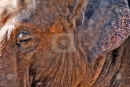 Elephant stock photo, A profile of an old mature elephant close-up on his face by Brandon Seidel