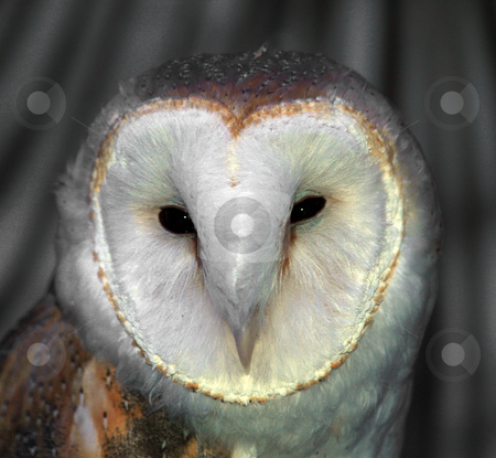 White Barn Owl stock photo, A close up of a white barn owl face by Brandon Seidel