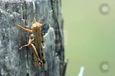 Grasshopper on a Cedar Post stock photo, A grasshopper on a cedar post. by Brandon Seidel