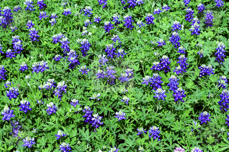 Bluebonnet background stock photo, A patch of bluebonnets that makes a great background by Brandon Seidel