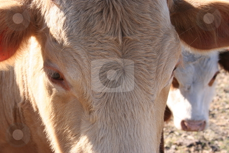 Cow Eyes stock photo, A cow's eyes. by Brandon Seidel