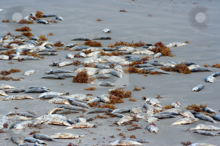 Dead Fish on the Beach stock photo, A lot of dead fish on the beach by Brandon Seidel