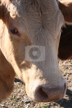 Cow Head stock photo, A cow grazing on a farm. by Brandon Seidel