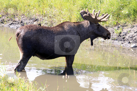 Bull Moose stock photo, Bull Moose by Ingvar Bjork