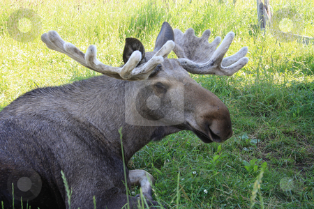 Bull Moose stock photo, Bull Moose by Ingvar Bjork