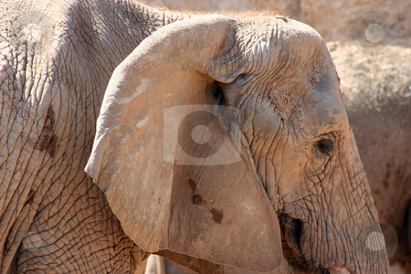 Elephant stock photo, An elephant's face close up. by Brandon Seidel