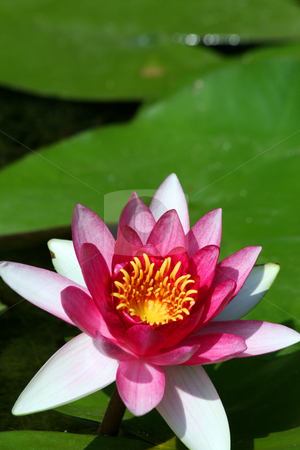 Flowering Water Plant stock photo, A nice flowering water plant in a pond. by Brandon Seidel