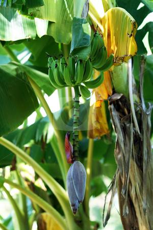 Banana tree with green bananas stock photo, A banana tree with some green bananas growing by Brandon Seidel