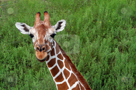 Giraffe stock photo, An adult giraffe.  Great color and detail.  Will make awesome prints. by Brandon Seidel