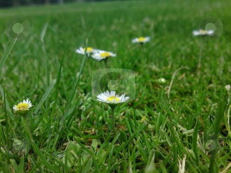 Scattered Daisies stock photo,  by Jack Richardson