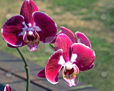Rare Colored Orchid stock photo, This is a rare colored orchid with stunning patterns of burgundy, reds and whites. by Valerie Garner