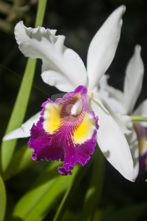 White and Purple Orchid stock photo, White orchid with vibrant purple & yellow throat. by Steve Carroll