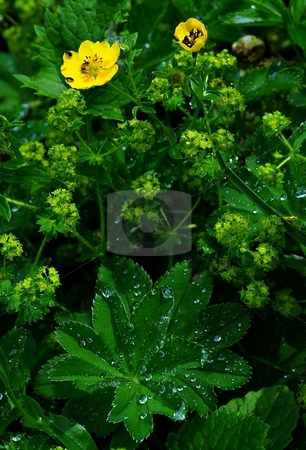 Meadow after rain stock photo, Yellow flowers with bugs and green leaves with water drops by Juraj Kovacik