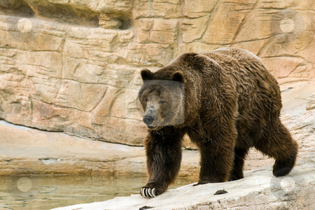 Brown Bear stock photo, An adult brown bear walking along some rocks by Richard Nelson