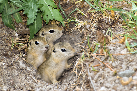 Three Prairie Dogs stock photo, Three prairie dogs peeking out of their hole in the ground by Richard Nelson