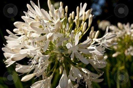 Agapanthus stock photo, Agapanthus the