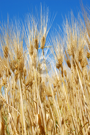 Wheat ears stock photo, Yellow wheat filed over blue sky background by Julija Sapic