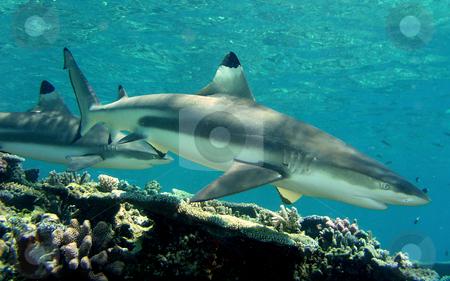 Blacktip Reef Shark stock photo,  by Ryan Dandy