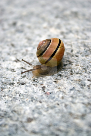 Sea Snail stock photo, A lone sea snail moving along on a rock. by Todd Arena