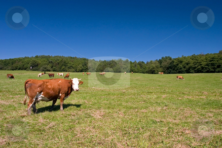 Cows on the pasture stock photo, Cows on the spring pasture in midday by Wiktor Bubniak