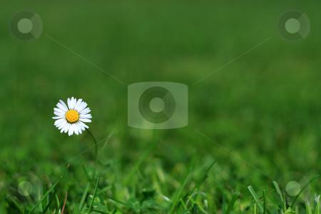 Single daisy stock photo, Lonely daisy in a meadow by Wiktor Bubniak